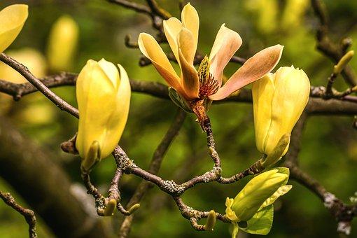 Magnolia, Yellow, Blossom