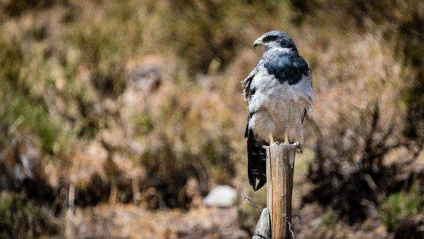Eagle, Buzzard, Andes, Bird, Predator, Raptor, Chile