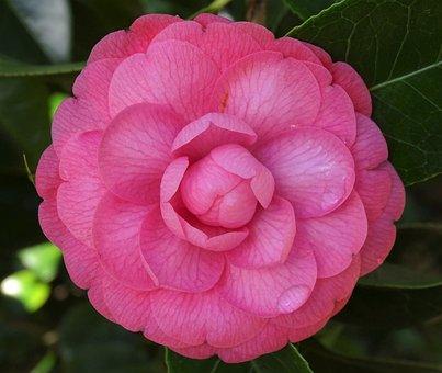 Flower, Camellia, Rosa, Pink, Rosebush, Flowers, Nature