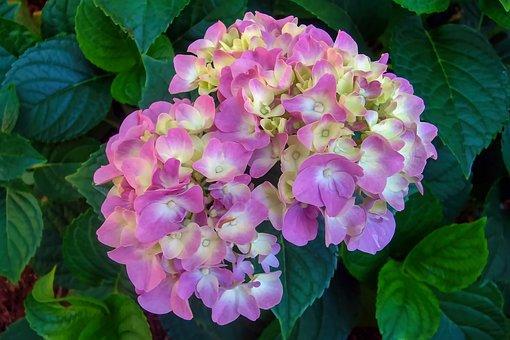 Hydrangea, Cape Cod, Pink, White, Flower, Leaves, Green