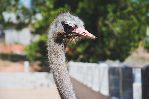 Ostrich, Close Up, Bird, Animal, Eyes, Head