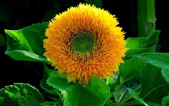 Sunflower, Flower, Dashing, Yellow, Summer, Plant