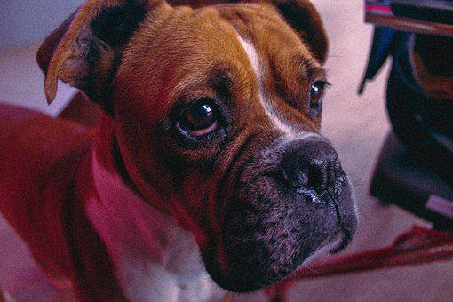 Boxer, Dog, Animal, Portrait, Cute, Purebred