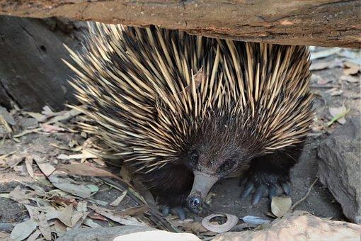 Echidna, Small, Marsupial, Cute, Nose, Paws, Australia