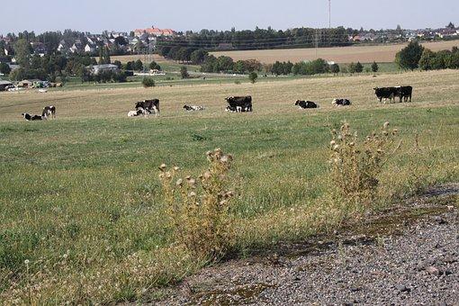 Herrenhaide, Cows, Field, Agriculture, Burgstädt