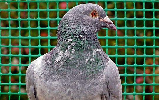Dove, Bird, Pen, Nature, Flight, Beak, Beautiful, Wings