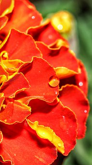 Marigold, Flower, Red, Water, Drop, Droplet, Close-up