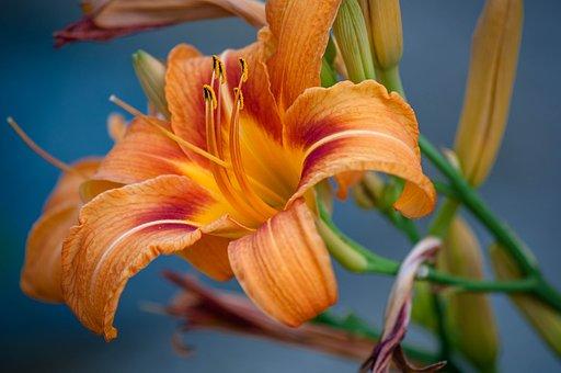 Daylilies, Flower, Garden, Beauty, Color, Stamen