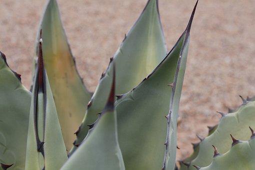 Aloe Vera, Aloe, Plant, Nature, Garden, Green