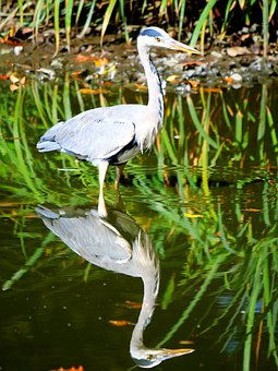 Grey Heron, Heron, Bank, Bird, Eastern