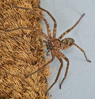 Spider, Huntsman, Arachnid, Creepy, Hairy, Australia