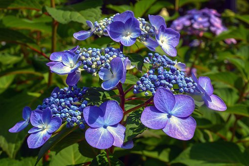 Hydrangea, Cape Cod, Flowers, Purple, Blue, Nature