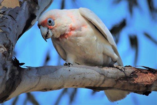 Long-billed Corella, Looking Down, Native, Aussie