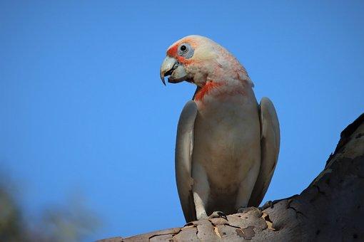 Long-billed Corella, Neck, Native, Australian, Looking