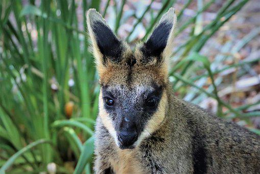 Close Up, Face, Black Footed Rock Wallaby, Marsupial