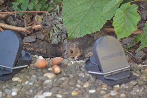 Mouse, Mousetrap, Rodent, Animal, Nager, Pest Control