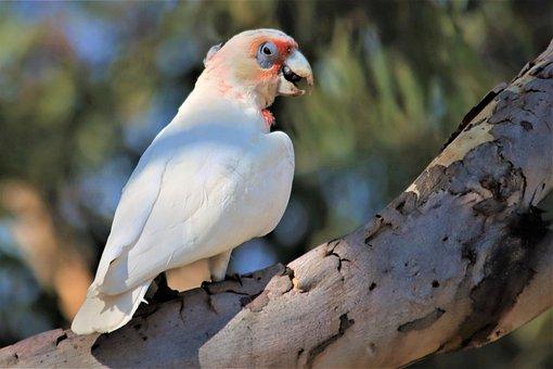 Long-billed Corella, Native, Australian, Looking, Eye
