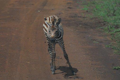 Zebra, Foal, Safari, Africa, Nature, Wildlife, Wild