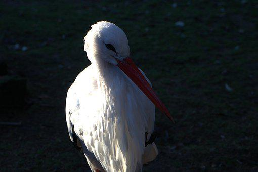 Stork, Pregnancy, Fertility, Bird, Bill