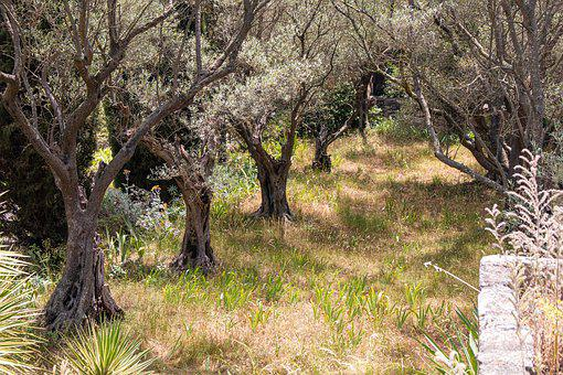 Provence, Avignon, South Of France, Olive Tree