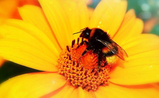 Bumblebee Gas, Female, Pszczołowate, Apiformes, Wings