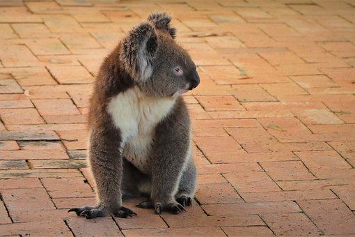 Vulnerable, Koala, Cuddly, Cute, Sleeping, Endangered