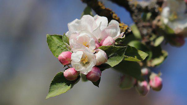 Apple Tree Blossom, Spring, Apple Tree Flowers