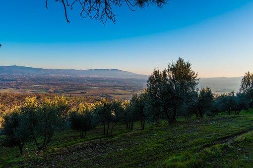 Olive Yard, Olives, Landscape, Tuscany