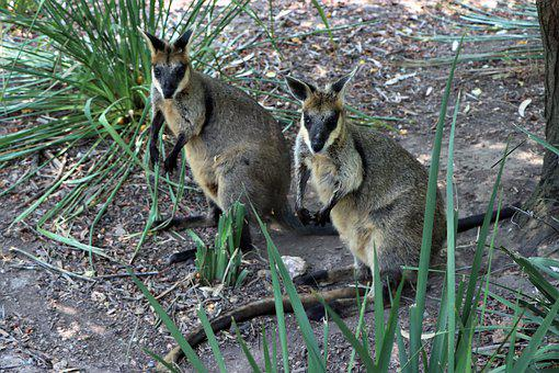 Two, Black Footed Rock Wallaby, Marsupial, Native