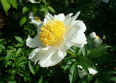 Peony, Flower, Bloom, Yellow, White