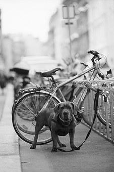 Guard, Dog, Bicycle, Pet, Animal, Breed, Protection