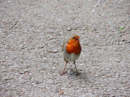 Robin, Birds, Turdide