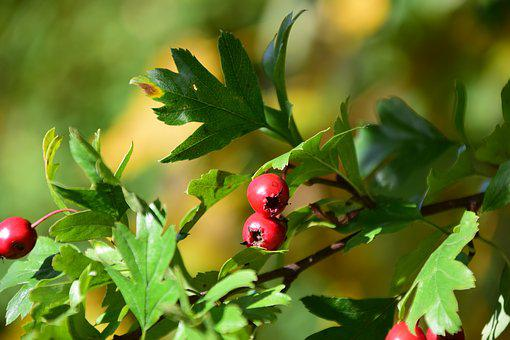 Berries, Rowanberries, Bush, Nature, Red, Close