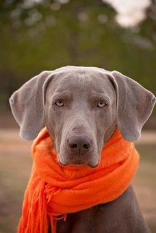 Dog, Weimaraner, Scarf, Pet, Canine, Purebred, Domestic