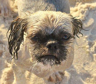 Dog, Shih Tzu, Animal, Pet, Cute, Mammal, Pedigree