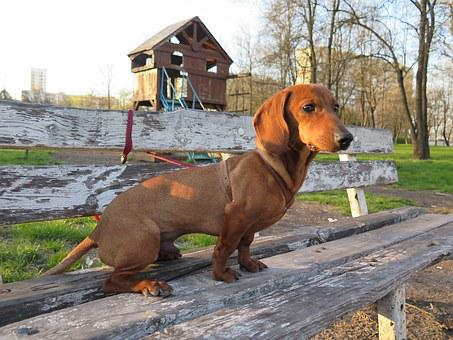 Dog, Dachshund, Friend, Pet, Cute, Puppy, Purebred