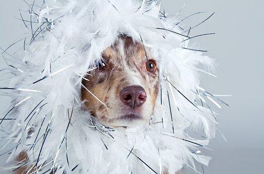 Dog, Australian Shepherd, Funny, Panel, White