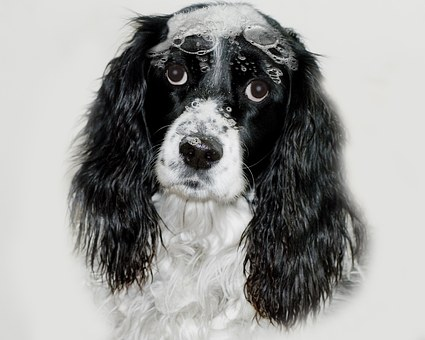 English Springer Spaniel, Dog, Sudsie Sadie, Suds, Bath