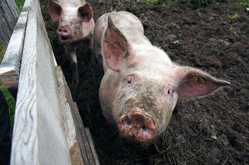 Pig, Mud, Dirt, Earth, Proboscis, Fence, Wood, Piglet