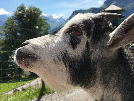 Goat's Head, Geiss, Mountains, Landscape, Glarus