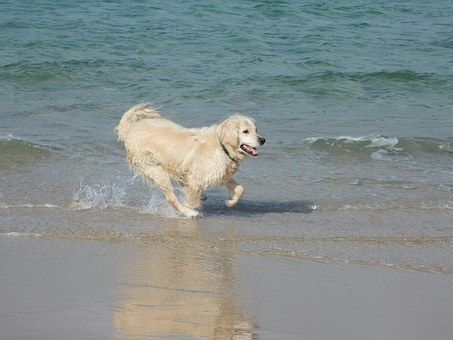 Dogs, Beach, Golden Retriever, Sand, Sea, Pet, Animal