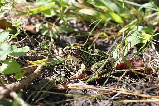 Frog, Nature, Green, Summer, Habitat, Foliage, Image