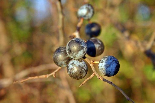 Schlehe, Blackthorn, Schlehendorn, Blue, Heckendorn