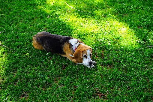 Beagle, Dog, Dog Face, Hunting Dog, Domestic Dog
