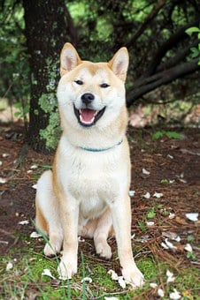 Shiba Inu, Dog, Shiba, Inu, Japanese, Pet, Animal, Cute