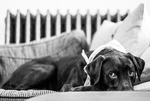 Dog, Cute, Couch, Pillow, Chocolate, Lab, Labrador
