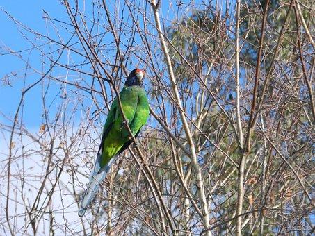 Nature, Bird, Australian, Wild, Wildlife, Natural