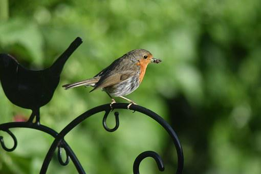 Robin, Bird, England, Nature, Animal, Wildlife, Red