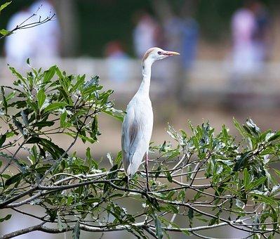 Heron, Brown, On The Branch, Bird, Great, Wild