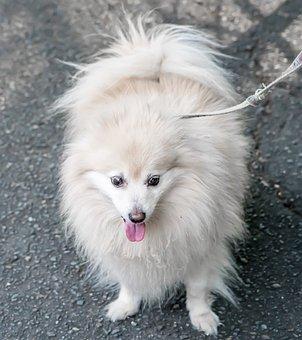 Dog, Pomeranian, White, Cute, Pet, Canine, Animal